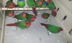 Young red headed parrot finches $170.00 per pair M/F Call or text me --