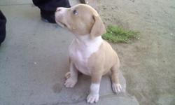 full breed red nose pit bull female white and brown with greenish color eyes, first litter $150 OBO. text or call @ (970) 484-1348 email @ fhmx420@yahoo.com