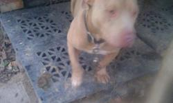 Beautiful Red nose Pitbull to a good home, reason for selling is because I have two more pitbulls and three is too many. Well cared for and gentle. short stocky red coat all the way with white chest full blood He does not have papers. -- Not a