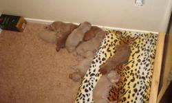 rednose pitbulls for sale. 5 boys (champagne) 1 chocolate. 1 girl (chocolate). blue eyes. parents are really good with kids, ppl and other animals. all puppies have white chest (: they are really cute