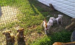 Full blooded, red nosed pits, 7 weeks old... no papers but parents on site