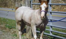 Beautiful red roan overo paint filly, bloodlines include Peppy San, Doc O Lena, Jetalito, and Gunsmoke. Dam is Buckskin overo, and Sire is Blue Roan from EFG Quarter Horses. This filly was born friendly, and loves to be around people. She is getting