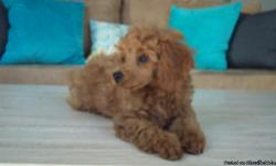 Red Toy Poodle...5 month old male...call or email if interested. I am trying to find a good home fo this baby, he is a complete lap dog and very affectionate. Tail docked, dew claws removed, shots including rabies and crate trained...both parents are on