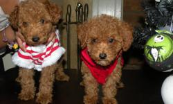 1 male, 2 females,2 monthes, red toy poodles, 6 pound dad, 7 pound mother. pure bread AKC papers included. Please local pick up in Santa Barbara.Vicky (225) 346-5222.