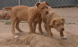 4-1/2 MONTH OLD ADBA REGISTERED M/F REDNOSE GREAT TEMPERAMENT, THICK BONED GREAT HEAD PIECE. WILL BE ABOUT 75-90 LBS. MOM IS PURE CHEVY, DAD IS PURE CAMELOT. BOTH MOM AND DAD ON SITE. MOM IS A 95LBS SHEMALE, DAD IS AN XL POCKETPIT. PUPS ARE UTD ON SHOTS