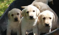 **ONLY ONE MALE LEFT - GET YOURS BEFORE THEY ARE GONE** Ten weeks old and ready to go to your home, AKC registered Yellow Lab puppies. Located near Mountain Grove, Missouri. Reduced - $250 each. Only ONE (1) awesome male puppy left for adoption. Call