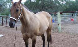 Teddy is a registered buckskin dunn with zebra striped legs. He is a gentlemen with solid manners. He is 16H, 7 yrs. old,current on all vaccines and has a negative coggins. He loads, clips, bathes, stands for the vet and farrier.