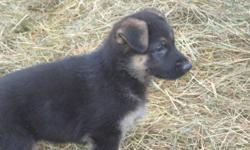 I have 3 Reg. Female German Shepherds available. 2 Black and Tans and 1 Sable (the browner one). They are eating great, UTD with their shots/worming, and ready to go. They have great markings and wonderful personalities. They are incredibly friendly (as