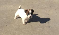 Reg Jack Russell's 6 wks old short and stocky 2 males 2 females