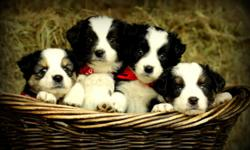 Miniature Australian Shepherds 6 weeks old. Blue merles and Black tris. They have had their first shots and I will keep them until Christmas. The dam and sire of this litter are brilliant, beautiful dogs. Please call ()-