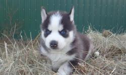 I have 4 Reg. Male Siberian Husky Puppies available. 3 Black & White and 1 Red & White. Wonderful personalities, not your typical standoffish Husky. Mom is about 45lbs and dad is about 65lbs. They will be UTD on shots/worming when they're ready to go. I