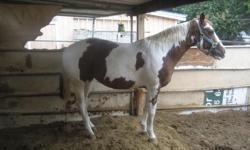 Register Mare Paint Quater Horse. Good for breeding.