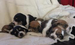 The most beautiful Bassett hound puppies you have ever seen! I am the owner of the mother, who has given birth to six pups, 5 boys and 1 girl. We have several bi-colored pups and two tri-colored. They will be nine weeks and ready to go 12/5/12. They will