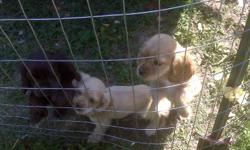 we have 2 left, please contact me at 918 808 2180 or visit our site www.cockerpuppies.webs.com one is brown with greenish eyes and the other is blonde with brown eyes. both are very loveable and have been raised in and out doors and around children (ages