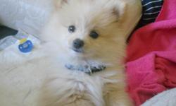 Cream colored, female pomeranian. She's about a year old and comes with brushes, nail trimmers, leashes, collars, pet training spray, ultrasonic pet trainer, pet bed, kennel, dog toys, and pet shampoo. She's very friendly and good with kids. MUST SELL