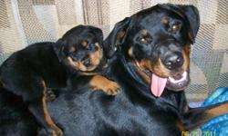We have one 14 week old male Registered German Rottweiler. He walks good on a leash,travels well in a car on my Wife's lap without any problems. He is very well behaved around other dogs and cats. We are raising him in the house,and he never has done his