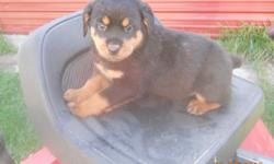 I have registed Rottweiler puppies available. They are beautifully marked with great personalities. They are up to date on shots and worming, tails and dew claws have been removed. they are good looking pups. They make great family