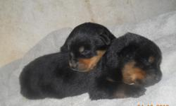 Litter of Registered Rottweiler puppies. Both males and females available. I am taking deposits to hold them for people. They will be current on their shots and worming when they go and they have their tails and dew claws removed.