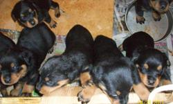 Registered German Rottweiler puppies,born 3/28/2011. 4 Females and 6 Males. They are eating on their own,and will be ready to go to new homes now. Shots are up to date. These puppies are out of BARON_VON-DER-ADALARD-RA' AND SANDY SHATZIE VOM SEGAN. MALES