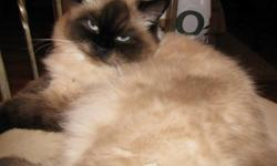female her name is cocoa she is 2yrs and 3months she has not been declawed or spayed.