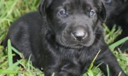 I have a litter of lab puppies for sale. Black females and males left. Strong hunting background. Puppies will have shots and will have been wormed. Both parents on site. Call text or email to reserve your puppy today. Will be ready July 22.