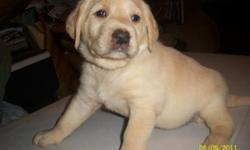 I have 5 registered Lab puppie's for sale. They are very even tempered, lovable, and we are working on potty training right now. I have 3 yellow Males, 2 black Males. When they are bought you will get all the registration paperwork and they will have
