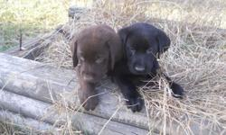 These are Beautiful Labs. They are registered up to date on shots and worming and ready to go. They make great hunting dogs and wonderful family dogs. Both males and females available in all colors, they really are beautiful pups. The black and chocolate