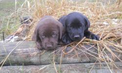 I have a litter of Beautiful Registered Lab puppies.  Both male and females available and both chocolate and black.  They are up to date on their shots and deworming.  They will make great family dogs and wonderful hunters.  If