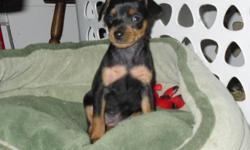 beautiful min pin puppies for sale. 7 weeks old ready to go. Tails, ears, and dew claws done. First set of shots. 3 females and 1 male. Black and tan. Very smart breed of dog. Puppies parents on site. For more information or details call 985-868-3456