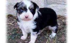 I currently have 2 pups available, 1 black tri male with 1 blue eye, 1 blue merle female, 1 black tri male with dark eyes. I have raised these wonderful little dogs for 14 years. They will be ready by Christmas, up to date on shots and wormings. Call