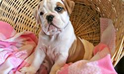 If you are looking for a great, high quality, champion pedigreed bully, don't look any further. Come get this stocky Old English Bulldog puppy. This little tike is 8 weeks old (born March 28th) and is registered with the IOEBA. Olde English Bulldogges are