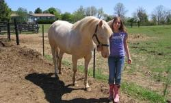 APHA registered/certified Stallion, Hez Golden Scotch. Handsome Perlino 3yr old! 14.2hh Barn name, Stratus. Loves attention and to be brushed. Has some training; leads,loads, clips, ties. Stands for farrier. Excellant