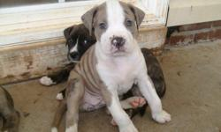 8 Registered Pitbull puppies. 4 female 4 male. 4 brindle (2 male&2female), 2 gray meral (male&female), 1 white with brown patches, 1 tan with white. bloodline - Colby/Watchdog. 864-270-1744
