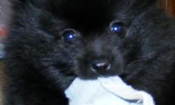 Only two left Born Jan 1, 2011. One male and one female. The male is black with white markings and the female is solid black. They are vet checked, have first shots, dewormed and come pre spoiled. teeboo1978@hotmail.com or check out their page at