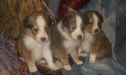 These are 3 male Sheltie pups, with the cutest personalities and pretty markings.  They are up to date on their shots and their deworming, they make great family dogs.  If you would like a female I have a younger litter with females, the younger