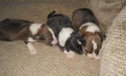 I have a liter of beautiful Sheltie puppies. Both black and white and sable, both male and females available. These are very pretty pups that make great family dogs. They have very nice markings with the full collar, white tipped tail 4 white feet, they