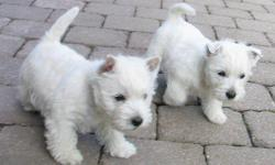678-667-2322 These little frisky puppies are up to date on vaccines and worming also come with a 1 year written money back health warranty. They very smart and playful. They are also house trained already. They are freshly groomed waiting for you to take