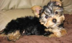 For Sale - 2 male Yorkie puppies, CKC Registered. They will be available to go to their new homes on April 26, 2011. Mother and father are on site. Additional pictures are available upon request. Official color is blue, tan. Mother is 5 lbs and father is