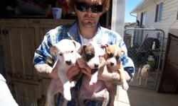 i have 6. 7 week old full blooded pitbull pups.ready for a place to live good looking dogs