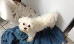 My little girl's small, male, white maltese ran away on August 31 from 1809 jack street (aurora subdivision). He answers to tokyo. I am offering a reward for him if found.