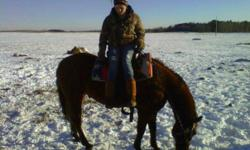 I have a 12 year old registered quarter horse geldig that NEEDS to go ASAP because I am moving I can no longer have him :( He is a great horse. not a mean bone in his body, first to the gait. Sweet boy a total teddy bear! picks up his feet good stands