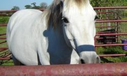 Beginner Gentle Riding Horses 14h to 15h tall 5 horses available Quarter horse + Arabian Breed Contact 318-210-8453 or 318-745-2776