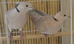 This is a beautiful pair of ringneck doves. The male is a wild color with champion bloodline and the female is a wild color tufted (the feathers stand up on her forhead). I had her shipped to me from New Mexico because you can't find birds like that