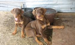 Beautiful Rotterman pups born May 25th. Dad full Doberman, Mom full Rottweiler, both here. 3 chocolate males, 1 Black & Tan female. Tails docked, wormed x3, 1st shots. $150 each. (254)646-3766 or (817)894-4364 Recent Youtube video: