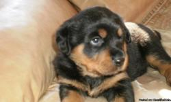 Have two female Rottwailers for sale $350.00 each negotiable,tale cut off born on September 25-2010