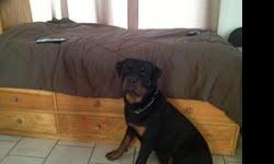 rottweiler akc 10 month old male 100% german working lines huge head thick boned all shots crate trained --