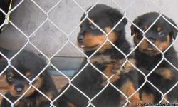two females left. AKC certificate. Sire from Yugoslavia. big head dogs. tail, shots and dewormed.