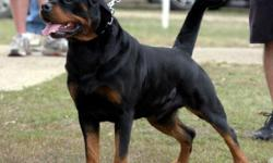 Warning to all Rottweiler Enthusiast many Rottweiler breeders on the Big Island and all of Hawaiian Islands are not Ethical Rottweiler Breeders. Many are breeding their dogs without it being comforming to the breed standard and hips are not professional