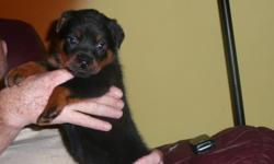 Rottweiler German Champion Bloodline AKC 5 week old litter. 5 Females and 1 Male available (first pic male) Our kennel is located in Tallmadge, Ohio. ( 2 miles east of Akron.)  We