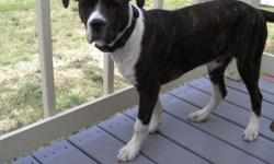FREE - Rottweiler/Old English Bulldog Puppy, 5-1/2 months old; kennel/house trained; all shots; needs room to run and play.